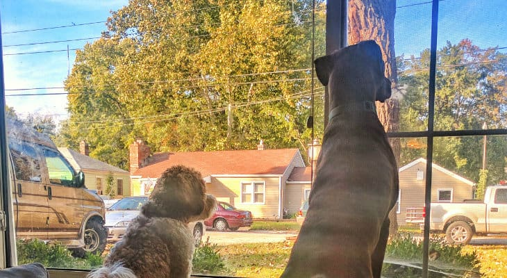 gold-dog-out-window_730x400
