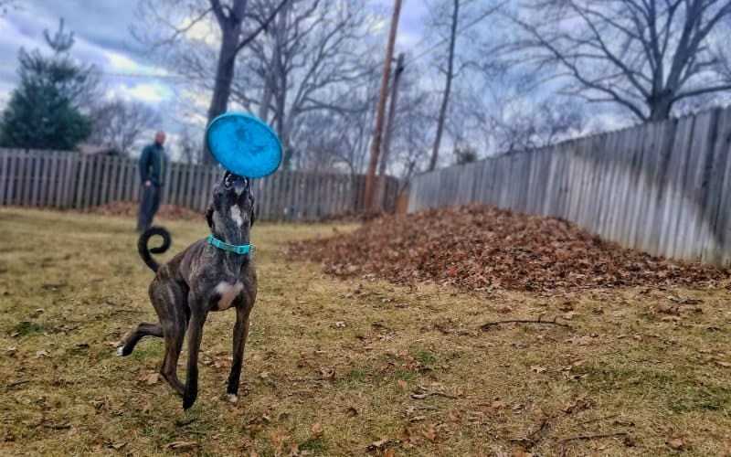 nymeria catching frisbee