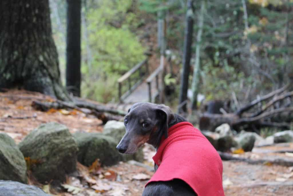 A dachshund looks back at the camera, a forest and wooden bridge surround him in this photo.